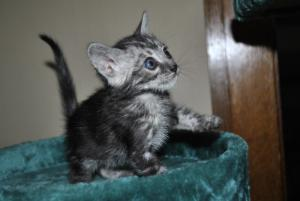 Zephyr Bengal cat for sale from our Cattery