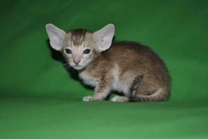 Oriental shorthair cat for sale from Cataristocrat Catter
