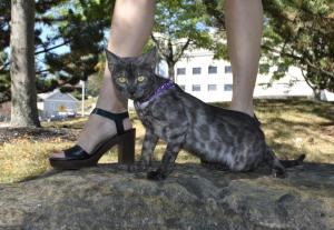Smoky Bengal kitten for sale from Cataristocrat Cattery