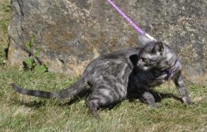 Purebred  kitten for sale  from Cataristocrat Bengal Cattery