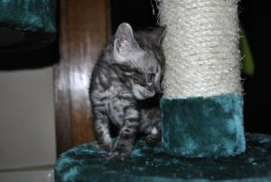 bengal silver cats for sale from our Cattery