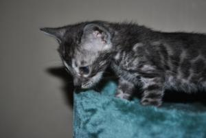 bengal silver kittens for sale from our Cattery
