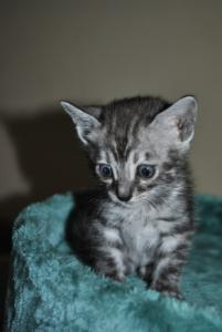 spotted girl Marussia Bengal kitten for sale  from Cataristocrat Cattery