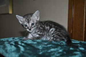 Charcoal Bengal kitten for adoption  from Cataristocrat Cattery